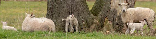 Foto van voorjaarstafereel: schapen met lammetjes in de wie.