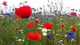 Foto bloemrijke akkerrand
