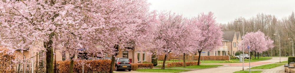 Foto Bloeiende prunussen in Dalen