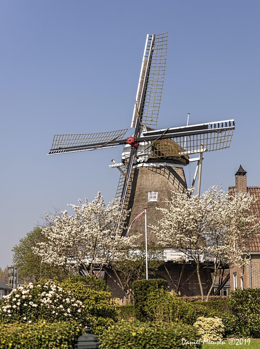 Foto Lente in De Bente; een foto van de Bentermolen met in bloei staande bomen en struiken.