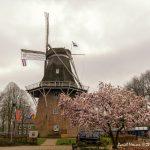 Foto Een lente foto van de molen Jan Pol met op de voorgrond een bloeiende magnolia.