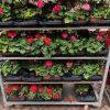 Foto geraniums 1