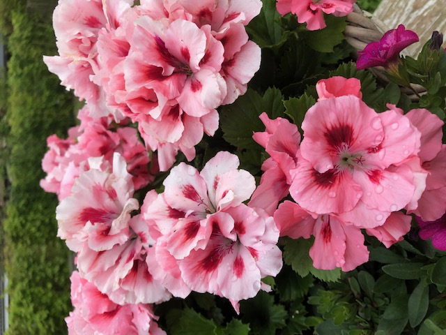 Foto geraniums