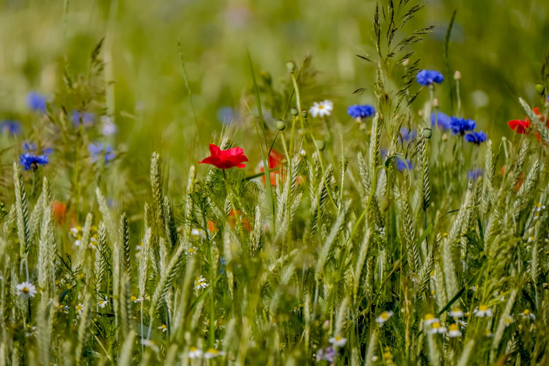 Foto korenbloemen, grassen, tarwe en klaprozen