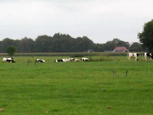 Foto uitzicht koeien in grasland Klompenpadtien