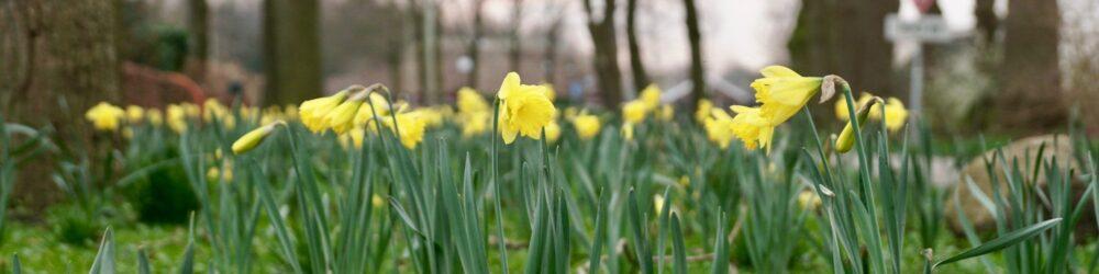 foto-voorjaar-narcis