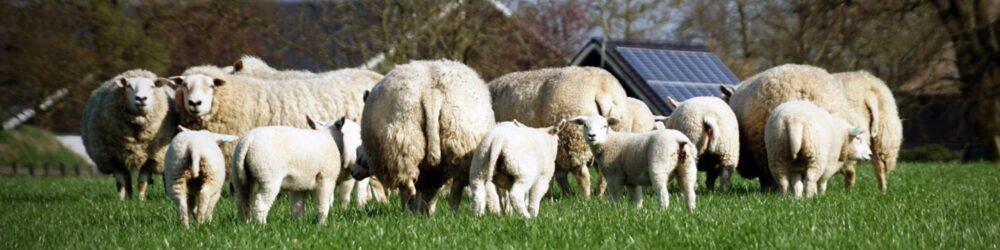 foto-voorjaar-schapen