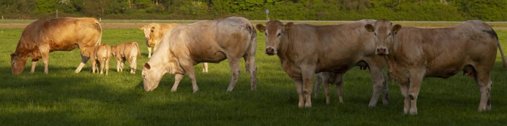 foto natuur koeien in de wei