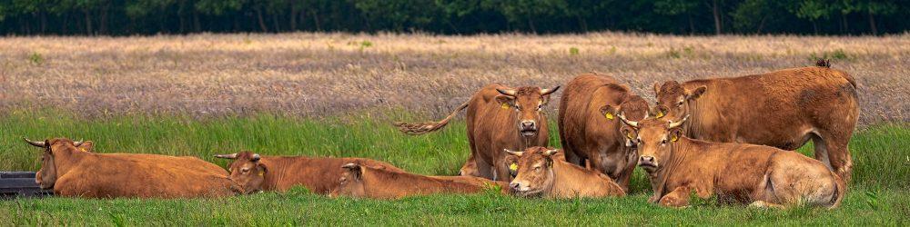 Foto bruine koeien in weiland