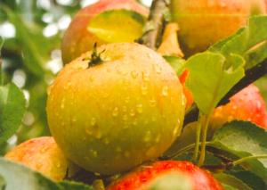 Foto appels fruitpersdag